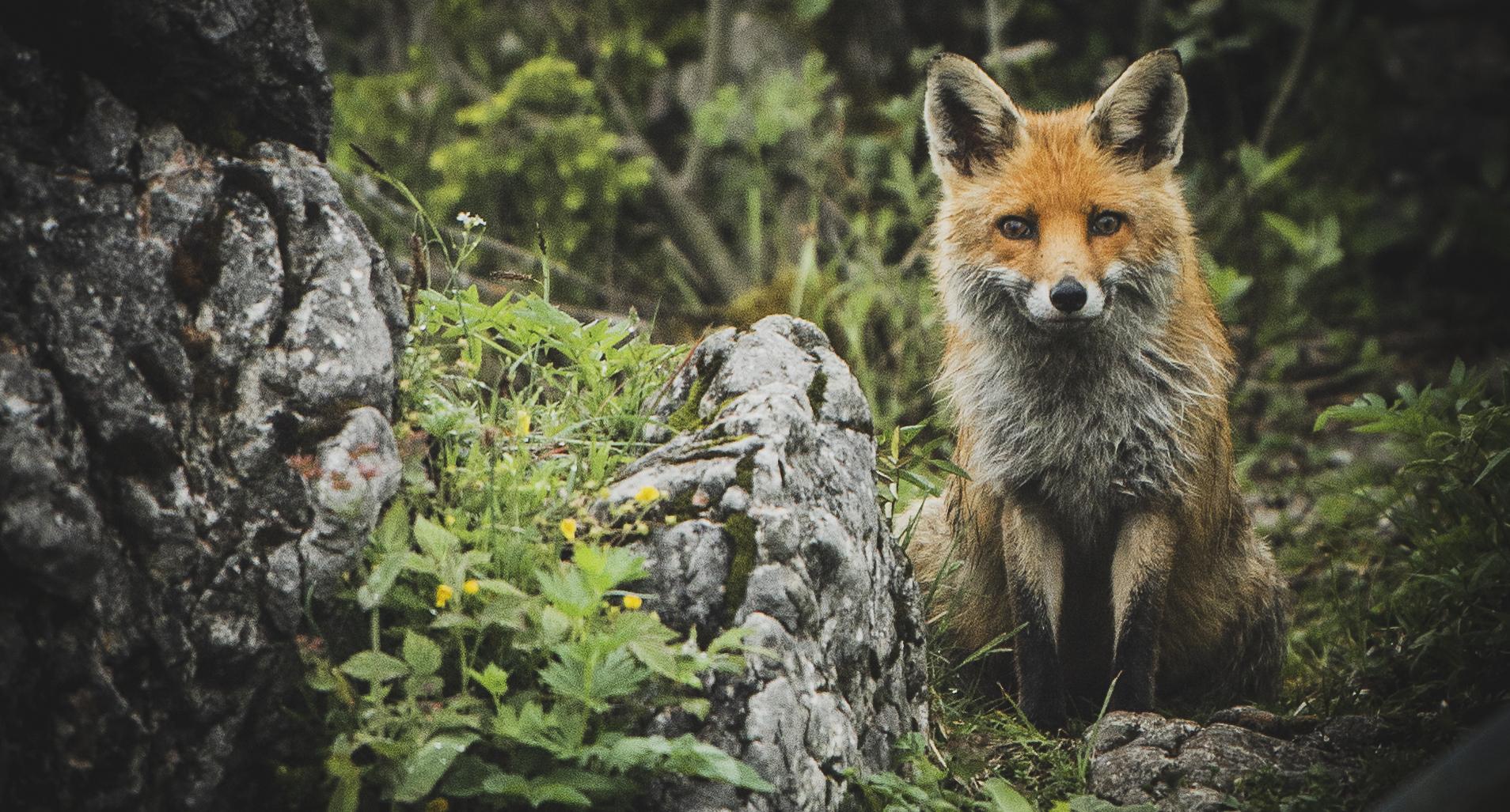 Gesaeuse, Gesäuse, National Park, Gstatterboden, Hörantalm, Hoerantalm, Fuchs, Fox